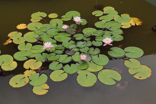 Swamp, Water Lilies, Water Lily, Flower, Flora, Bud