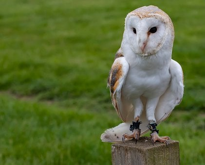 Perched Owl, European Owl, White Owl, Sitting Owl