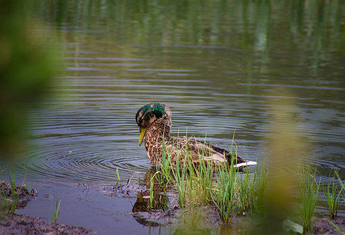 Wild Ducks, Aquatic, Water, Animal, Feather, Nature
