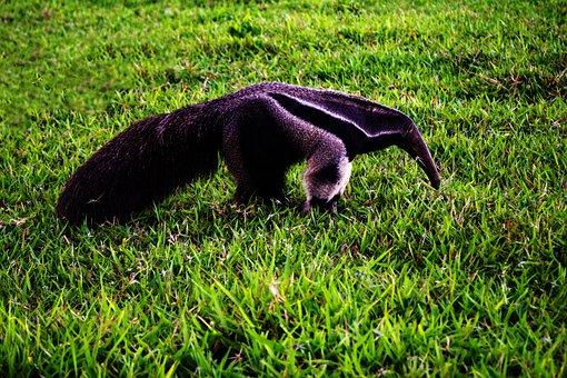 Animal, Field, The Giant Anteater, Farm, Rural, Wild
