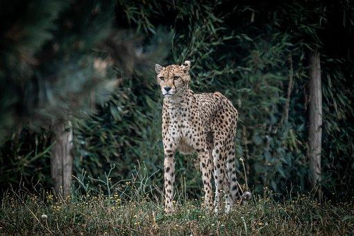 Cheetah, Zoo, Nature, Cat, Predator, Animal