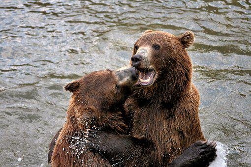 Brown Bears, Play, Fur, Water, Animal Photography