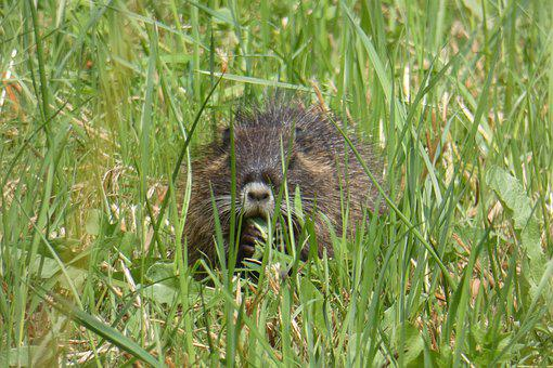 Muskrat, Young, Rat, Gras, Eating, Animal, Wildlife
