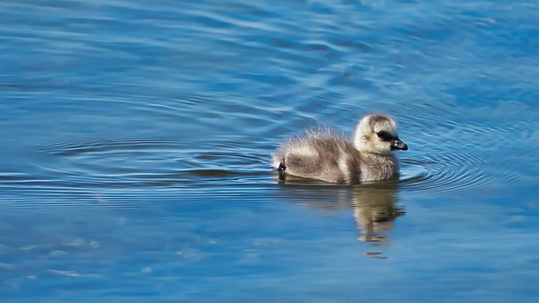 Single, Bird, Fluffy, Chick, Goose, Baby, Cute, Water