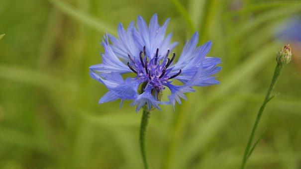 Bluet, Blue, Blue Flower, Wildflowers, Blossom, Flora