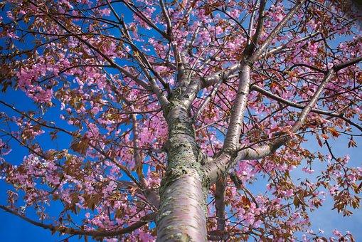 Cherry Blossom, Cherry Tree, Pink, Blue Sky, Branch
