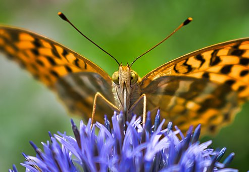 Butterfly, Orange, Wings, Fritillary, Insect, Nature