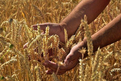 Cereals, Corn Stalks, Spike, Grain, Mature, Hands
