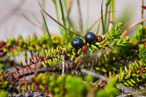 Crowberry, Heather Green, Nature Conservation