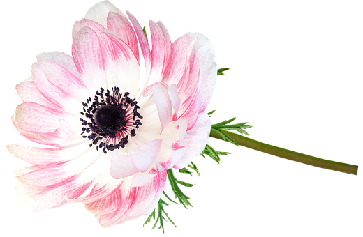 Anemone, Flower, Stem, Cut Out Isolated, Garden, Nature
