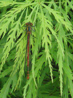 Early Adonis Dragonfly, Nature, Dragonfly