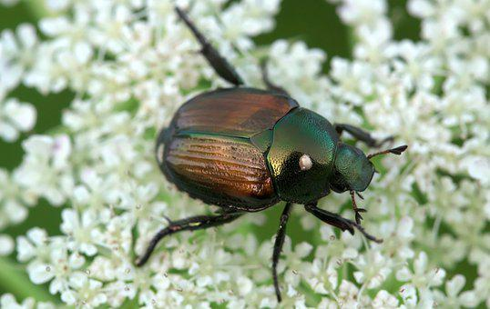 Beetles, Elytra, Beetle Japanese, Insect