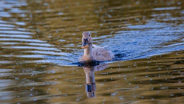 Female Duck, Mallard, Mallard Hen, Duck, Wildlife