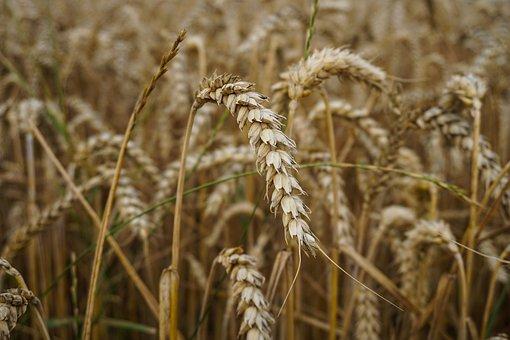 Wheat, Wheat Field, Field, Nature, Spike, Field Walk