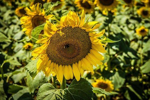 Sunflower, Nature, Field, Flower, Summer, Flowers