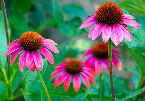 Echinacea, Blossom, Bloom, Flower, Coneflower, Flora