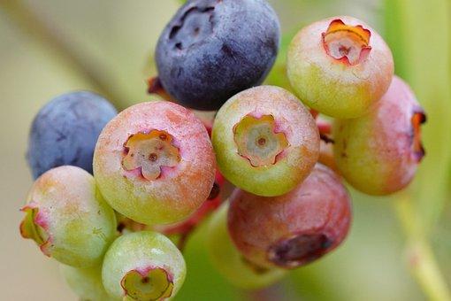 Blueberry, Flower, Bee, Nature, Honey, Garden, Green