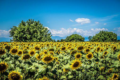 Sunflower, Field, Trees, Summer, Nature, Flowers