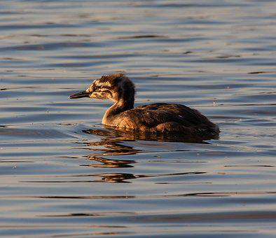 Great Crested Grebe, Great Crested Grebe Chick