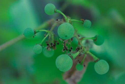 Green, Grapes, Fruit, Food, Vine, Fresh, Winegrowing