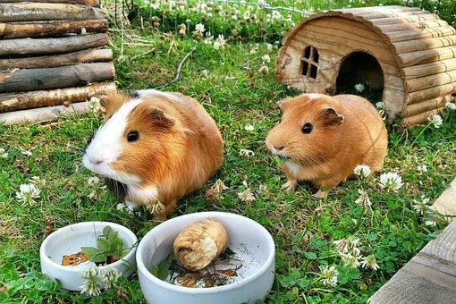 Guinea Pig, Pets, Food, Garden, Summer, Paula, Coxi