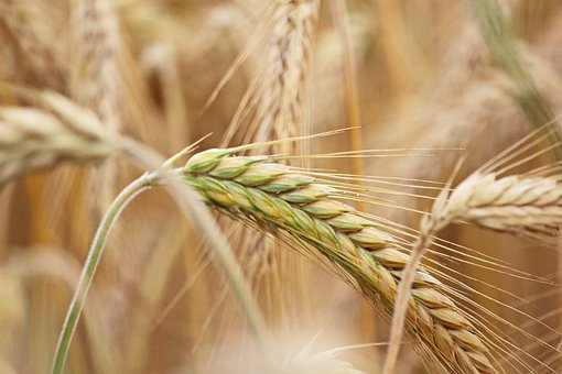 Grain, Harvest, Agriculture, Wheat, Field, Cereals
