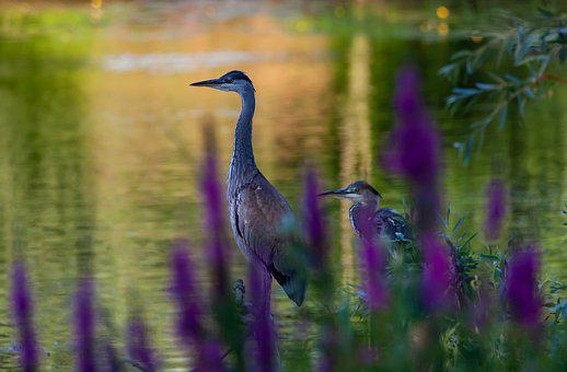 Waiting, Blue Heron, Heron, Reeds, Fishing, Wader, Bird