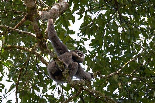 Wild Animals, Rainforest, Javan Gibbon