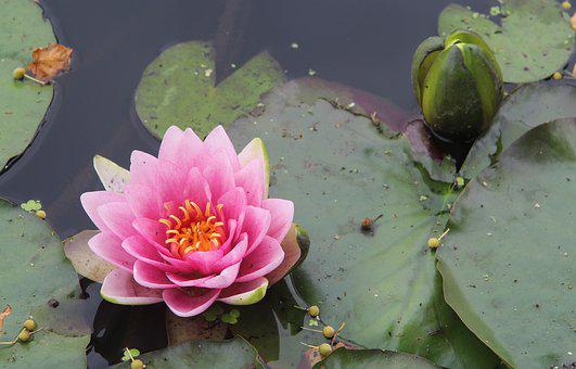 Lily, Lotus, Pink, Flower, Water, Pond, Nature, Flora