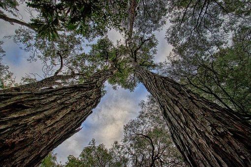 Trees, Jarrah, Australian, Tall, Forest, Native, Sky
