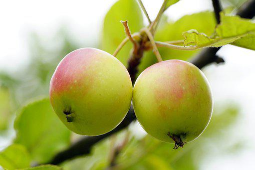 Apple, Flower, Bee, Nature, Honey, Garden, Green