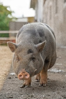 Animal, Pig, Farm, Piglet, Cute, Cattle, Domesticated