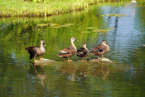 Duck, Lotus, Pond, Nature, Summer, Flowers, Water