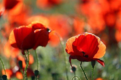 Flower Meadow, Klatschmohn, Nature, Poppy, Red, Summer