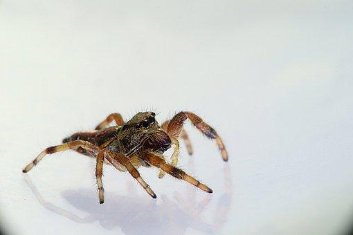 Arachnids, Spider, Spider Bouncing, Salticidae