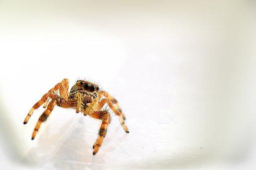 Arachnid, Spider, Salticidae, Paraphidippus, Nature