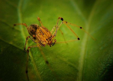 Spider, Spider Tiger, Scytodes Globula, Arachnid, Web