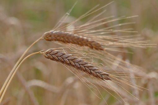 Barley, Cereals, Barley Field, Cornfield, Grain, Spike