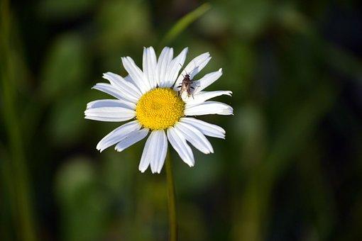 Marguerite, Spring Flower, White Flower, Flower