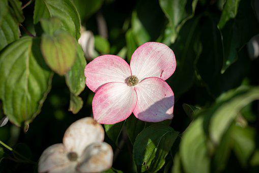 Flowers, Dogwood, Spring, Nature, Summer, Garden