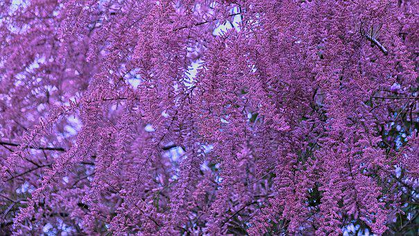 Tree, Blooming, Spring, Bloom, Blossom, Pink, Nature