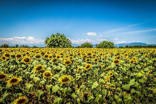 Sunflowers, Sky, Clouds, Sunflower, Summer, Flowers