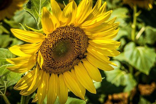 Sunflower, Petals, Yellow, Flower, Nature, Summer