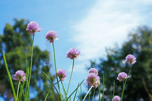 Chives, Flowers, Blue Sky, Summer, Summertime, Garden