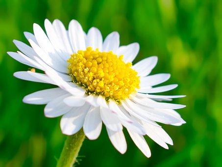Daisy, Single, Flower, White, Petals, Summer, Season