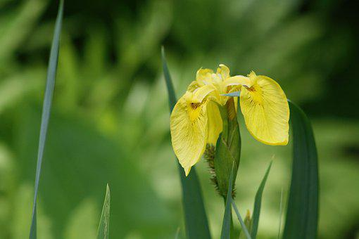Lily, Swamp Iris, Water-the Sword Lily, Yellow Iris