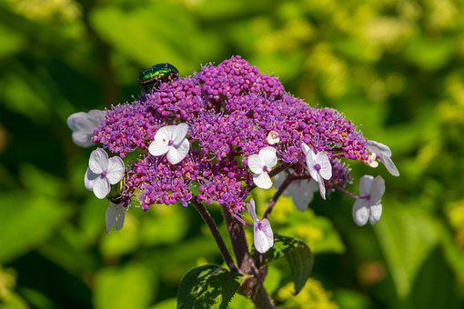 Plate Hydrangea, Violet, Nature, Summer, Blossom, Bloom