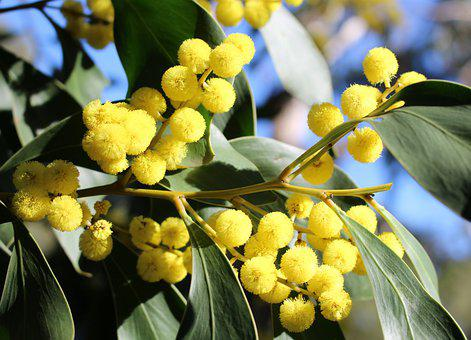 Acacia, Wattle Blossoms, Mimosaceae, Fluffy, Yellow