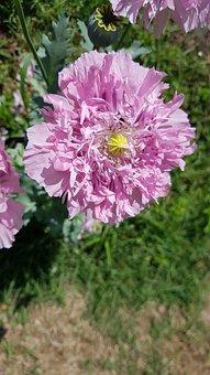 Poppy, Flowers, Plants, Pink, Buds, Garden, Wildflower