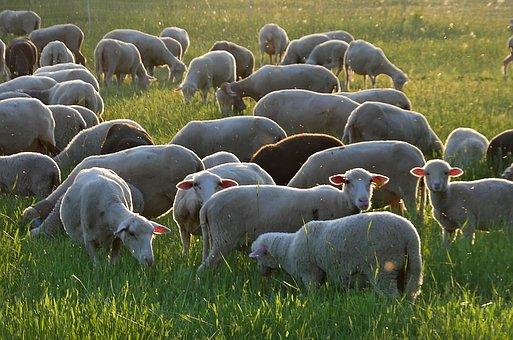 Sheep, Mammals, Agriculture, Wool, Rural, Livestock